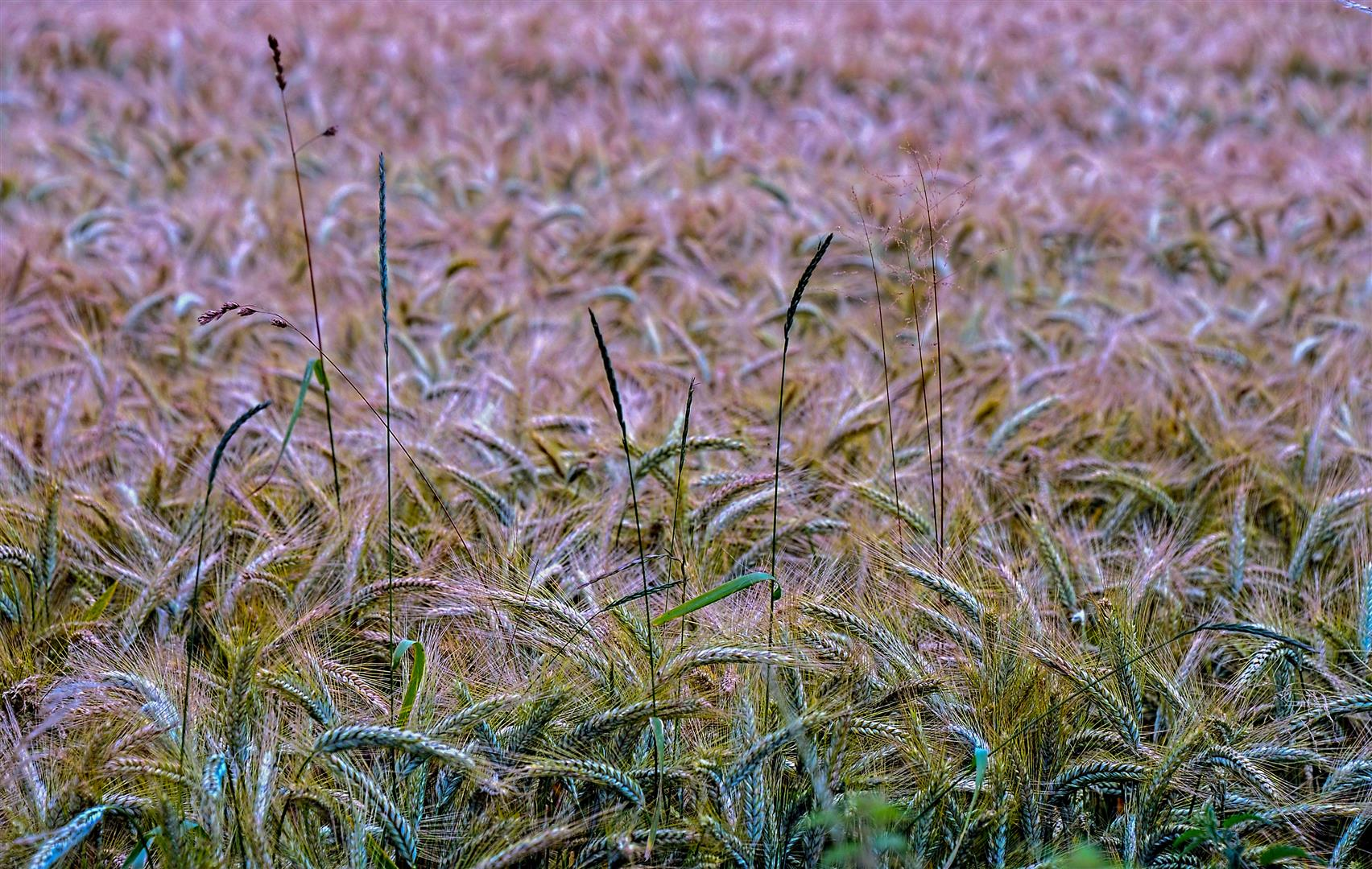 Barley (Large)