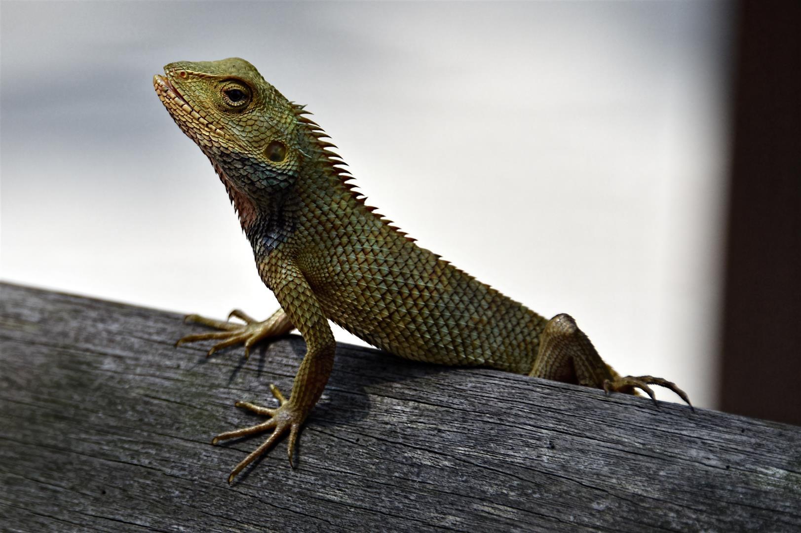 Sungei Buloh Lizard (1)