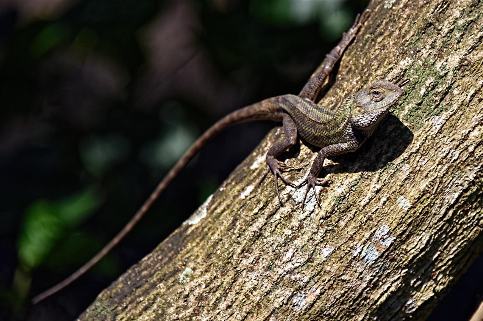 Sungei Buloh Lizard (2)