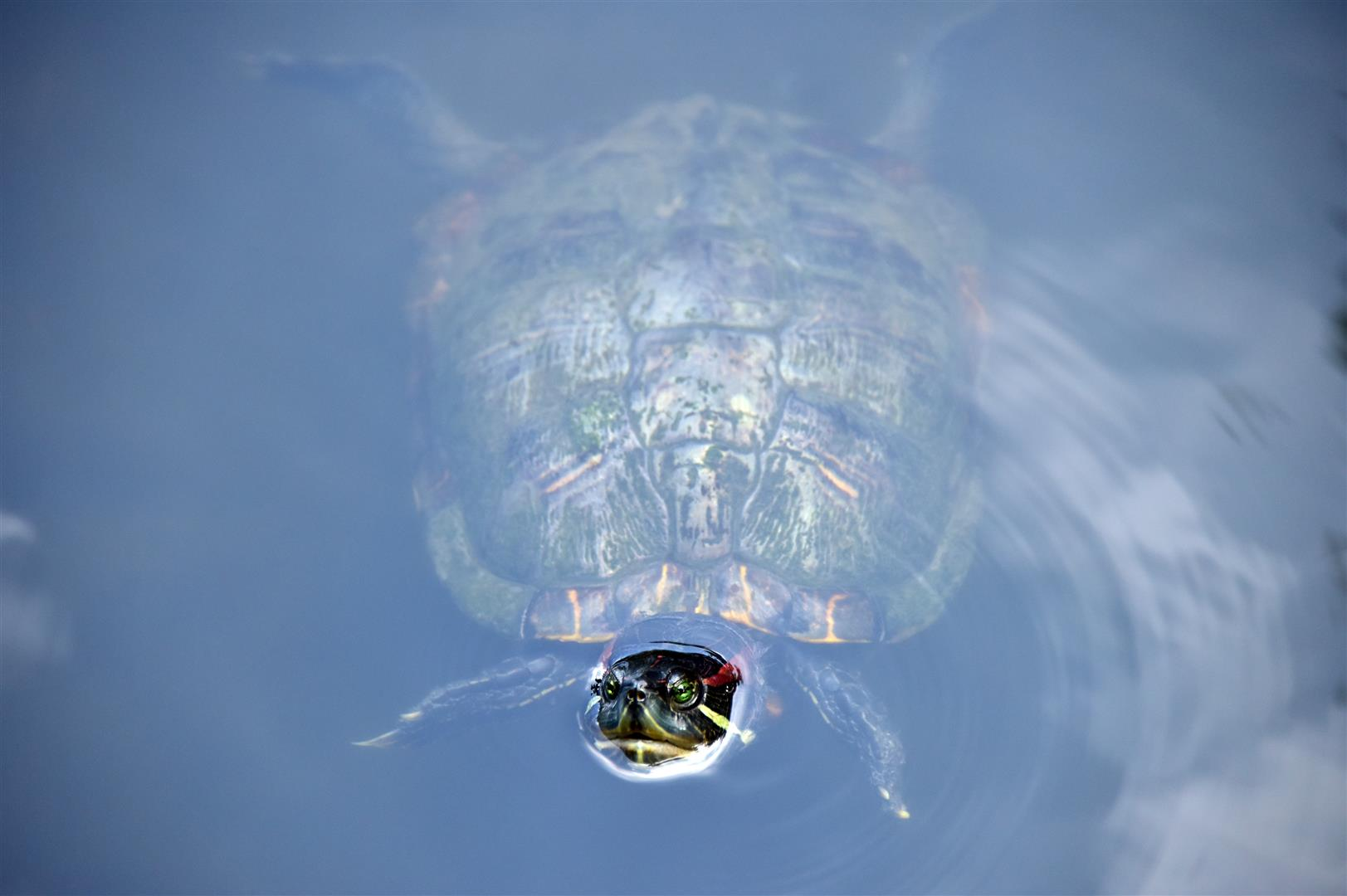 Terrapin (Large)